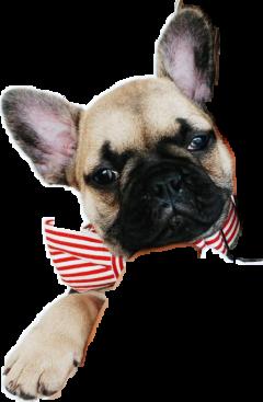frenchbulldog freetoedit