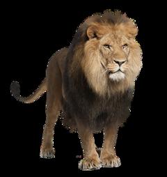 freetoedit lion animal