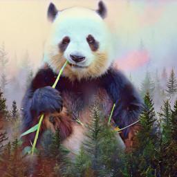 panda osopanda freetoedit ecgiantanimals giantanimals createfromhome stayinspired
