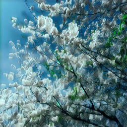 freetoedit spring springtime blossoms tree