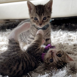 kittens cats playing cute freetoedit picsartpets createfromhome stayinspired pcpicsartpets