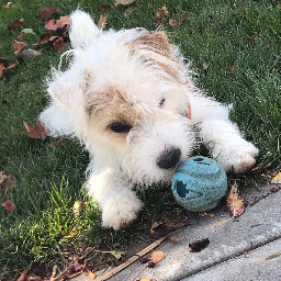 puppy parsonrussellterrier freetoedit pcpicsartpets picsartpets createfromhome stayinspired