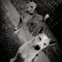 blackandwhite gangster dogstyle doglove freetoedit picsartpets createfromhome stayinspired pcpicsartpets
