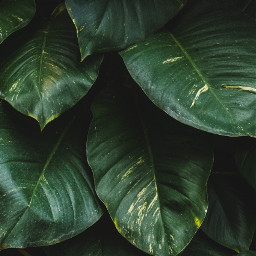 green leaves background backgrounds freetoedit