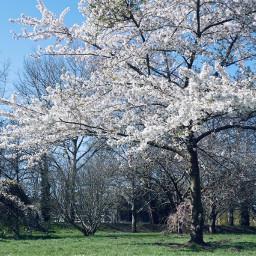 spring cherry photography sky london freetoedit