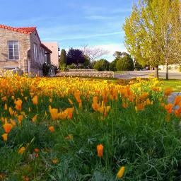 freetoedit springtime poppies urbanexploration flowerpower