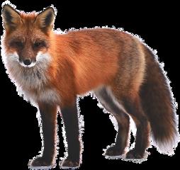 freetoedit amazing animal fox