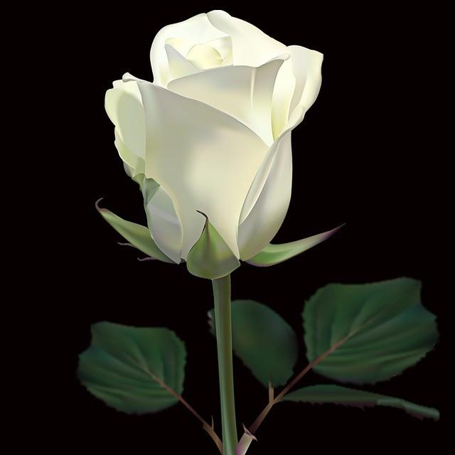 #freetoedit @gina-becker-7 #rose #white #whiterose #weiss #weisserose #love