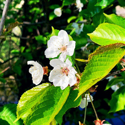 freetoedit flowers spring nature