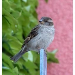 bird sparrow streetbirds animal birdsofthecity freetoedit