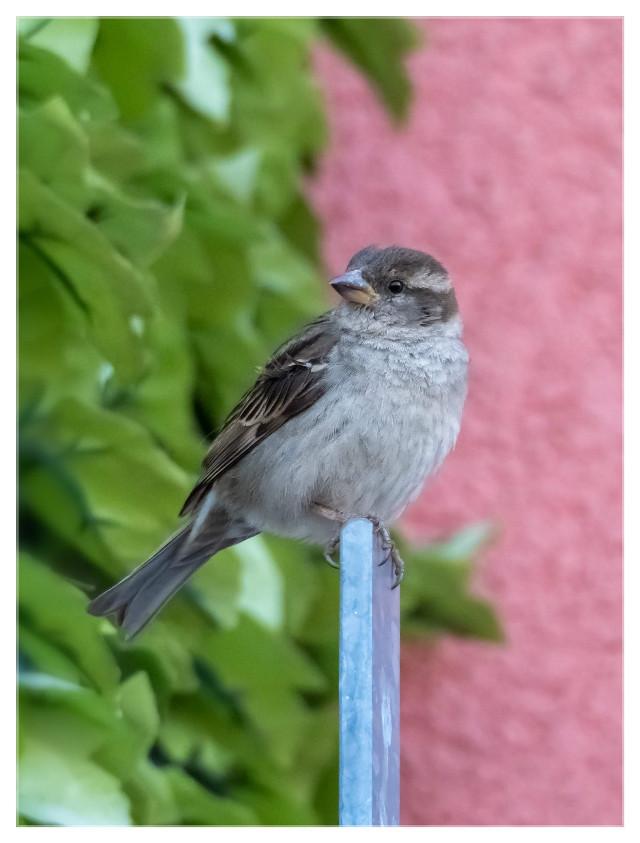 Good morning, dear friend 🙋🙋   #bird #sparrow #streetbirds #animal #birdsofthecity #berlin #cute  #freetoedit