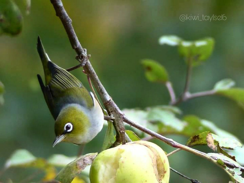 Check out @kiwi_taylse16 for more of my photography 🥰 Wish you all a lovely day 💕 #myphoto #myclick #photography #bird #nature #silvereye #mybackyard  #freetoedit