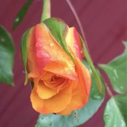 freetoedit mygardenflower rosesarebeautiful mypic