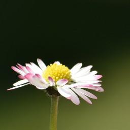 freetoedit photography daisy daisyflower closeup