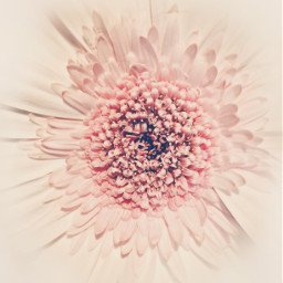 flower gerberadaisy closeupflower brightlight softcontrast freetoedit