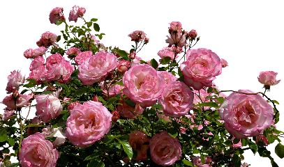 freetoedit roses pink bush flowers