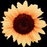 #sunflower #aesthetic #sunflower🌻 #flower #vsco