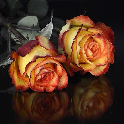 freetoedit rosen roses flower flowers