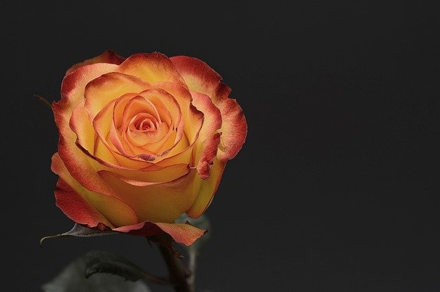 #freetoedit #rose #roses #flower #flowers #love