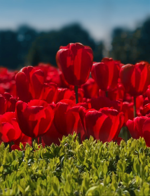 #nature #bushes #shrubs #greenleaves #flowers #tulips #redtulips #greenandred #colorcontrast  #sunnylight #bluredbackground #depthoffield #naturephotography   #freetoedit