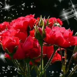 freetoedit roses rosen red redblack