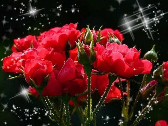 #freetoedit #roses #rosen #red #redblack #rot #rotschwarz #love #flower #flowers