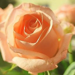 freetoedit rose lachs flower love