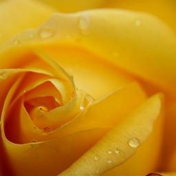 freetoedit rose yellow gelb flower