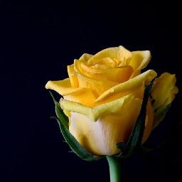 freetoedit rose yellow gelb blume