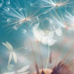 dientedeleón dandelions madewithpicsart