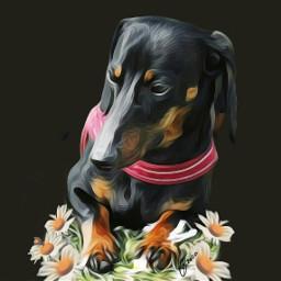dachshund petsandanimals dog dogs beauty freetoedit