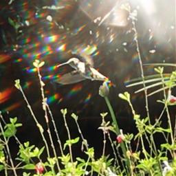 originalphotography hummingbird prism prismmask freetoedit