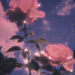wallpapers rose flower softaesthetic aeathetic freetoedit