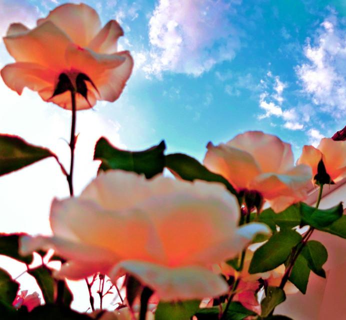 #freetoedit #peachedit   #peachrose #blue_sky