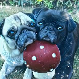 freetoedit pug cutee puglove pugs4life
