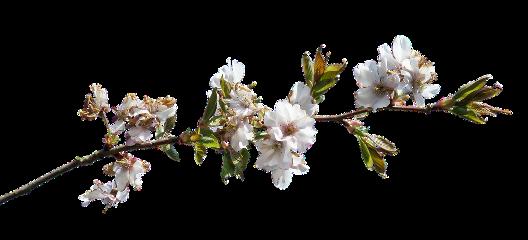 freetoedit bunga ranting pohon