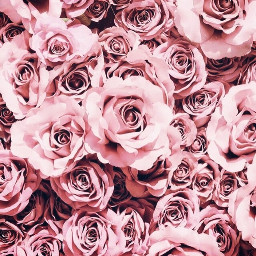wallpapers pinkaesthetic rose flowers softaesthetic freetoedit
