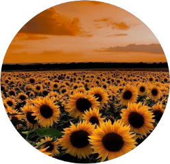 freetoedit sunflower goldenhour aest aesthetic