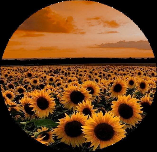 #freetoedit #sunflower #goldenhour #aest #aesthetic #softedit #loving #time #hour