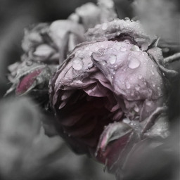 freetoedit photography monochrome coloursplash rose