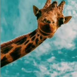 freetoedit jirafa jiraffe cielo sky