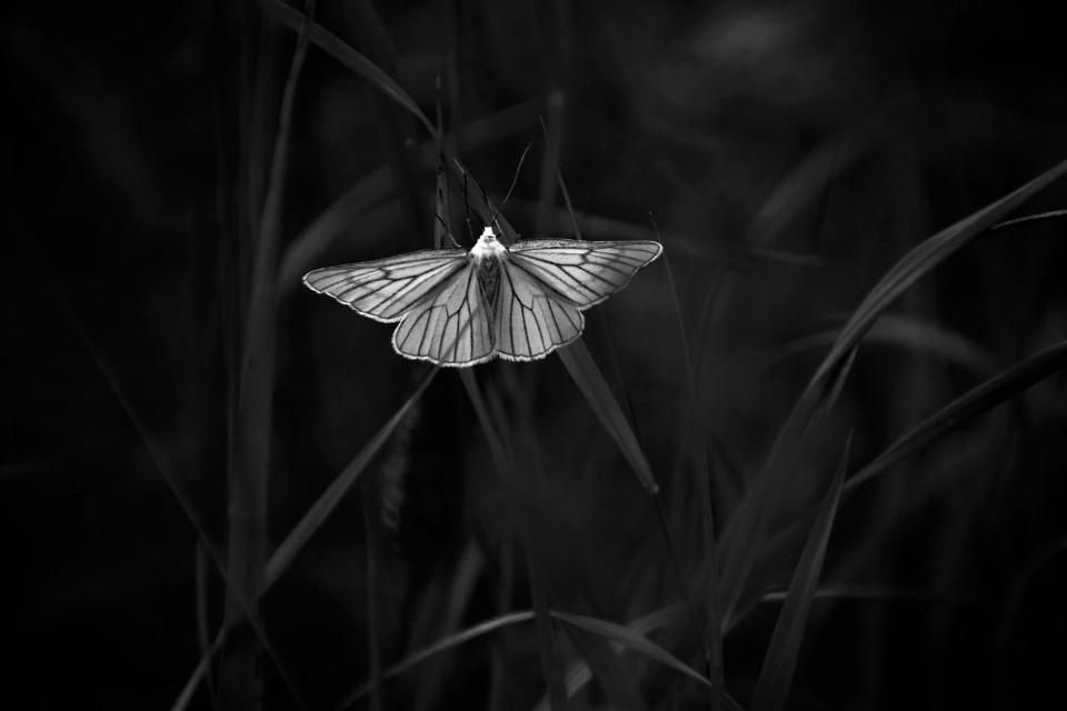 🖤 Good night friends 😴  #freetoedit #Photography #naturephotography #naturelovers #monochrome #butterfly #picsarteffects