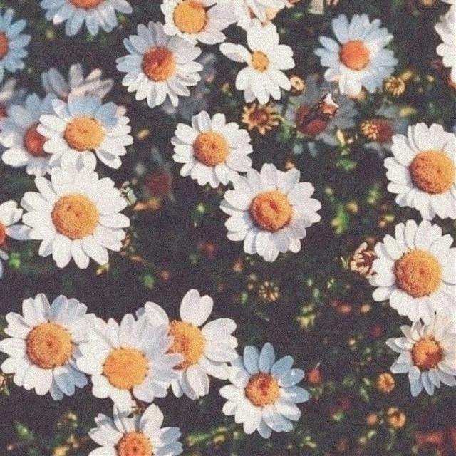 ←   #daisie #flowers #aesthetic #aestheticflower