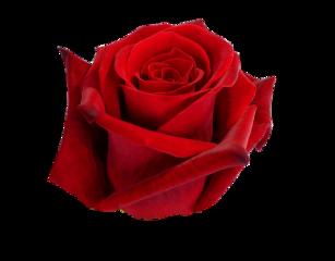 freetoedit redrose rose flower