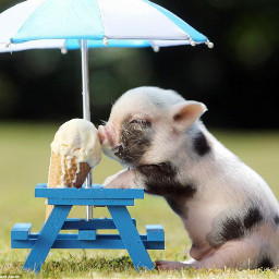 pig cute xoxo cutestpet cool