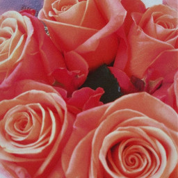 freetoedit picsart photography flowers roses