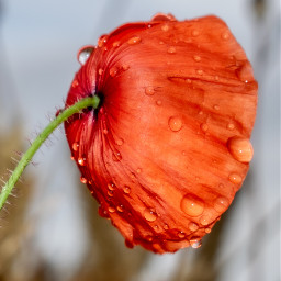 photography raindrops flower poppy nature mypic freetoedit