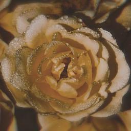 freetoedit myphoto myclick photography rose flower