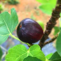 freetoedit fruit fig tree leaves nature photography