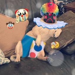 freetoedit clown clowncheck pug dog emoji sad clownbaby clownemoji clowny